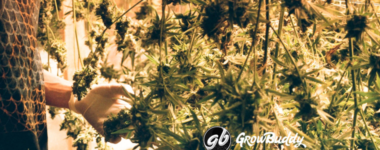 growbuddy